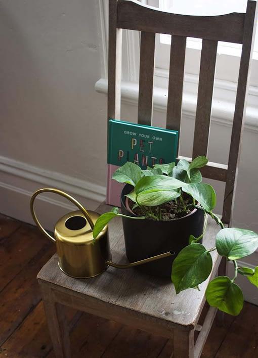 Devil's Ivy in black pot
